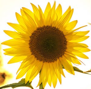 zonnebloem favicon